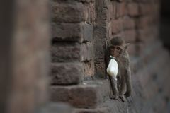 Monkeys at Prang Sam Phaya. Historical Site, Lop Buri, Thailand Royalty Free Stock Photos