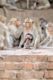 Monkeys at Prang Sam Yod Stock Image