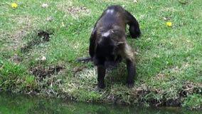 Monkeys, Primates, Zoo Animals, Wildlife, Nature stock video footage