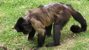 Monkeys, Primates, Zoo Animals, Wildlife, Nature stock video
