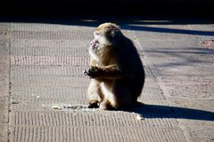 Monkeys ready to eat in the morning sun royalty free stock photos