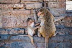 Monkeys. Relaxation of monkeys in Ruins Stock Photo