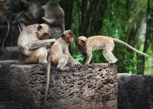 Monkeys relaxing at temple ruins in jungles Stock Photography