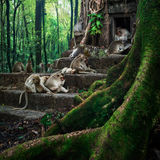 Monkeys relaxing at temple ruins in jungles Royalty Free Stock Images