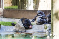 Monkeys relaxing in a zoo Royalty Free Stock Photo