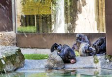 Monkeys relaxing in a zoo Royalty Free Stock Photography