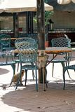 Monkeys at a restaurant table at a campground in Pilanesberg National Park. Vervet monkeys on a table at a restaurant at a campground in Pilanesberg National royalty free stock image