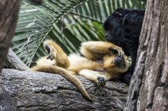 Monkeys resting on a tree stock image