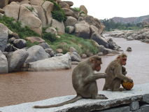 Monkeys by a river Royalty Free Stock Photos