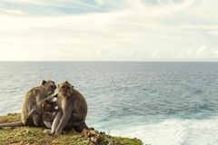Monkeys on the rock. With ocean royalty free stock photos