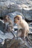 Monkeys on the beaches of Thailand. Monkeys on the rocks on the beach Royalty Free Stock Photography