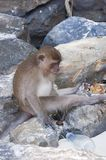 Monkeys on the beaches of Thailand. Monkeys on the rocks on the beach Stock Image