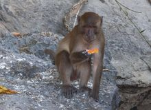 Monkeys on the beaches of Thailand. Monkeys on the rocks on the beach Stock Images