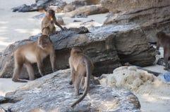 Monkeys on the beaches of Thailand Stock Photo