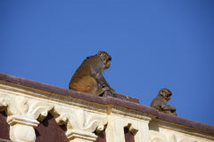 Monkeys on the roof Stock Photography