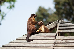 Monkeys on the roof Royalty Free Stock Photography