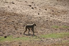Monkeys  at Ruaha national park ,Tanzania east Africa. Stock Images