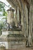 Monkeys on Ruins by Large Banyan Tree stock photography