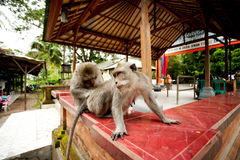 Monkeys in Sacred Monkey Forest Stock Photography