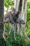 Monkeys at sacred monkey forest, Ubud, Bali, Indonesia Royalty Free Stock Photography