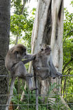 Monkeys at sacred monkey forest, Ubud, Bali, Indonesia Stock Image