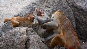 Monkeys scuffle Stock Photos