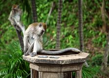 Monkeys search food Royalty Free Stock Photo