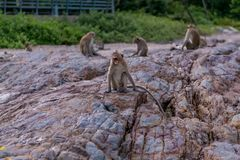 Monkeys. Seating on the stones of the  island Royalty Free Stock Image