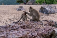 Monkeys. Seating on the stones of the monkey's island Royalty Free Stock Photos