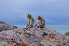 Monkeys. Seating on the stones of the monkey's island Stock Photo