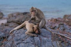 Monkeys. Seating on the stones of the monkey's island Stock Photography