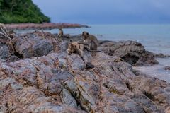 Monkeys. Seating on the stones of the monkey's island Stock Images
