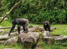 Monkeys in Singapore Botanic Garden royalty free stock photo