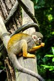 Monkeys in Singapore Botanic Garden royalty free stock photography