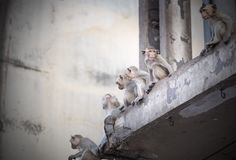 Monkeys sit on building in Lopburi downtawn, Stock Photography
