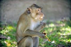 The monkeys sits and eating banana fruit stock photo