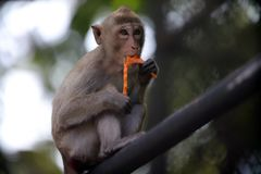 The monkeys sits and eating fruit stock images