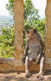 Monkeys sitting. Royalty Free Stock Photo