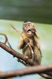 Monkeys. Sitting on a branch at the zoo royalty free stock images