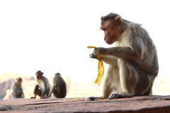 Monkeys sitting on the rock Royalty Free Stock Photography