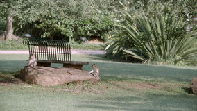 Monkeys sitting on a rock in a green garden stock footage