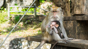 Monkeys sitting on staircase, Purity of Love Royalty Free Stock Images