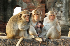 Monkeys. Sitting on a wall Royalty Free Stock Photography
