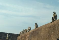 Monkeys sitting on a wall. Wallpaper of Monkeys sitting on a wall in order Stock Photos