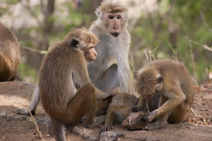 Monkeys social grooming. Group of three adult monkeys groom a juvenile royalty free stock images