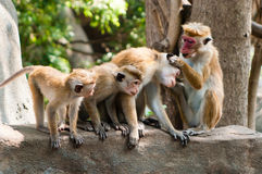 Monkeys. In Sri Lanka near the temple Stock Images