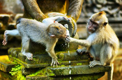 Monkeys in a stone temple Stock Photo