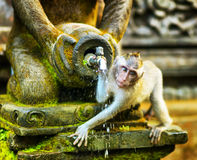 Monkeys in a stone temple Royalty Free Stock Image