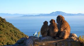 Monkeys and Strait of Gibraltar royalty free stock images
