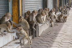 Monkeys on the Street in Thai City. Macaque monkeys hanging out on the sidewalk in the city of Lop Buri, Thailand Royalty Free Stock Image